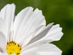 Florals I (Jam-Gloom) Tags: olympusuk olympusomdem5 olympusomd olympus omd em5 uk 60mm28 60mmmacro 60mmmacro28 macro bokeh bokehlicious bokehful floralphotography floral flowerphotography flower whiteflower whiteflowers closeup summer