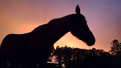Silhouette (jayjay.and.the.wolf) Tags: silhouette horse sunset