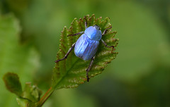 Hoplie bleue (Hoplia coerulea), Meyrueis, Cévennes, France (Frank.Vassen) Tags: hopliacoerulea hoplia jonte meyrueis cévennes france hopliebleue