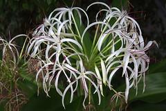 Crimum asiaticum (M. Martin Vicente) Tags: fotosgratis fotoslibres invernaderosdelaarganzuela laarganzuela legazpi madrid octubre2016 crimumasiaticum