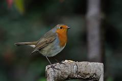 Robin Erithacus Robecula (sharpshooterjan) Tags: robin
