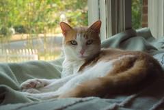 Otis (rootcrop54) Tags: otis dilute orange ginger tabby male macska kedi  koka kissa  kttur kucing gatto  kais kat katt katzen kot  maka maek kitteh chat