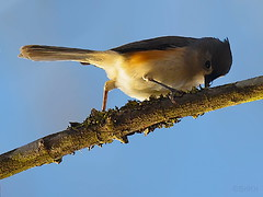 Tufted Titmouse (Sri Kri) Tags: india nature birds bangalore tuftedtitmouse ind