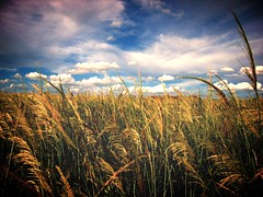 fields of gold (joaobambu) Tags: brazil sky colors field grass topv111 brasil clouds rural canon catchycolors skyscape print landscape gold countryside topv555 topv333 scenery sold himmel cu grama cielo nuvens campo ceu s410 ouro nuven fazendatotti