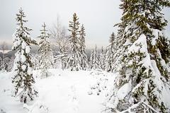 Koli - Finland (s.niemelainen) Tags: winter snow nature forest trekking suomi finland landscape frozen finnland hiking snowy north hike scandinavia lumi talvi maisema mets finlandia luonto koli karjala retki lieksa pohjoinen luminen jinen retkell patikka retkeily pohjois patikointi