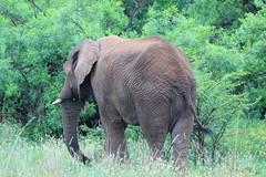 Elephants. Shepherds Tree Game Lodge. Pilanesberg Game Reserve. South Africa. Dec/2014 (EBoechat) Tags: africa game tree drive south reserve lodge safari elephants elefante shepherds pilanesberg dec2014