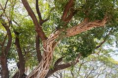 IMG_0683 (jaglazier) Tags: trees gardens thailand landscapes vines december cities parks airports urbanism figs sukhothai deciduoustrees 2014 stranglerfigs 122514 sukhothaiairport tambonmueangkao changwatsukhothai copyright2014jamesaglazier