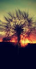 Sunset through dandelion - Diente de león (JooosMaR) Tags: sunset atardecer dandelion deseo makeawish dientedeleon pideundeseo