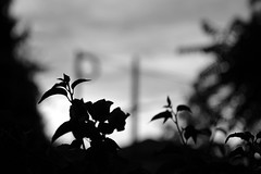 Daydreaming (RS PhotoArt) Tags: leica sunset bw 50mm bokeh m8 f28 elmarm