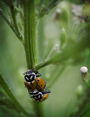 Lust In the Backyard 2 (karl_eschenbach) Tags: macro nature sex insects ladybugs ladybirdbeetles