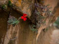 Coyote Monkey (xjblue) Tags: utah flora desert olympus canyon hike backpacking southernutah wildflower escalante e5 escalantetripoctober2014
