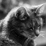 Cat in grey