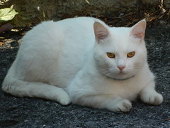 Cat (Clerss Malisha) Tags: pet cute animal animals cat mammal meow miao gatto gatti animali animale micio tenero animaledomestico mammifero quattrozampe