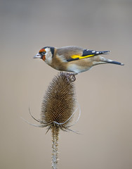Goldfinch On Teasel (Osgoldcross Photography) Tags: christmas winter bird feet nature wings nikon raw legs feeding goldfinch beak feathers naturalhistory seeds finch perch teasel perched christmaseve claws thorny plumage rspb nikond810 teaselplant tamron150600mm rspnoldmoor