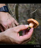 Rovelló sa (PCB75) Tags: mushroom digital hands hand main mà mans mains mira foret seta champignon pilz setas bosc magia гриб bolets rellotge bolet schwammerl 蘑菇 onddo rovelló níscalo màgic μανιτάρι goita