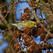 Finches Siskin Carduelis spinus Tittesworth 02/12/14