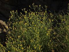 Nevada rockdaisy, Perityle megalocephala var. megalocephala (Jim Morefield) Tags: california flowers summer flower yellow flora unitedstates whitemountains olympus wildflowers shrub wildflower shrubs asteraceae greatbasin evolt perityle bigpine dicot e510 inyonationalforest 5petals roundcluster wfgna angiosperm inyocounty sunflowerfamily westgardpass taxonomy:family=asteraceae olympuse510 eswild taxonomy:genus=perityle jdm20111128 cnpsok peritylemegalocephala peritylemegalocephalavarmegalocephala nevadarockdaisy taxonomy:binomial=peritylemegalocephala taxonomy:common=nevadarockdaisy taxonomy:trinomial=peritylemegalocephalamegalocephala geo:alt=1880m