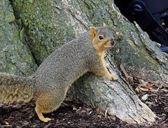 Squirrel, Morton Arboretum. 246 (EOS) (Mega-Magpie) Tags: usa nature america canon outdoors eos illinois squirrel arboretum il morton lisle the 60d