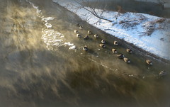 Geese on a steaming river (yooperann) Tags: park snow chicago canada cold ice forest reflections river geese steam chicagoist desplaines