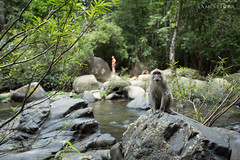 Macaques Monkey doing his thing, Khao Sok, Thailand (SamKent22) Tags: trip travel trees wild vacation holiday nature water pool rain rock forest thailand outdoors monkey rainforest asia stream southeastasia sitting wildlife tourist foliage jungle greenery macaques