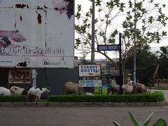 Goats by the road (hanna.ghana2014) Tags: nature sign goat ghana sit kumasi