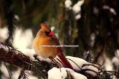 DSC_3874-1 (Anna MariaP) Tags: bird nature animal cardinal oiseau