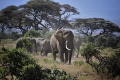 Elephants in Amboseli National Park, Kenya, East Africa (diana_robinson) Tags: kenya elephants leaderofthepack eastafrica acaciatrees amboselinationalpark maleelephant elephantsinline bigbullelephant elephantsinaline