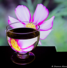 Refraction Fun-75 (derena_d.) Tags: light flower glass canon photography colours photographer refraction colourful coloured cosmos eos60d derenaakers autotagmisfit