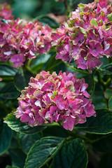 Hydrangea macrophylla 'Schloss Wackerbarth' (Alan Buckingham) Tags: pink red summer flower green sussex purple shrub tricolour merriments hydrangeamacrophyllaschlosswackerbarth