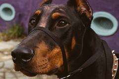 Nietzsche (JawshBeavz) Tags: dog beauty french la louisiana neworleans nye january makeup evil satan quarter cbd nola pup cosmetic nietzsche centralbusinessdistrict 2014 2015 joshbeavers