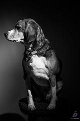 Stink eye (ileset) Tags: portrait dog hardlight