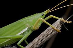 Pyrgocorypha sp._MG_0590 copy (Kurt (OrionHerpAdventure.com)) Tags: katydid orthoptera pyrgocoryphasp
