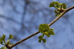 Ginkgo Tree Leaf-out (brucetopher) Tags: plant fern tree green colors leaves fossil leaf ginkgo ancient pattern peace outdoor peaceful foliage serene organic healing catchy ginko greenleaf permian ginkgotree ancienttree livingfossil pliocene ginkgoleaf ginkgoleaves