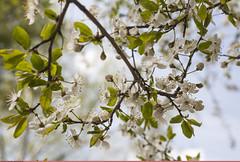 (Nickolas Titkov) Tags: cherry spring may sokolniki cerasus