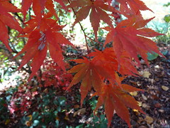 NSW Southern Highlands. Sutton Forest. In Red Cow Farm garden in the autumn. Acer palmatum. Japanese Maple. (denisbin) Tags: autumn lake garden bee foliage japanesemaple acer refelction mossvale suttonforest redcowfarm zinniaandbee