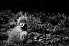 Renard roux (stefdenis3006) Tags: canada montral noiretblanc qubec jardinbotaniquedemontral juvnile renardroux animauxmammifres photostypedetraitement constructionesplanadeplaceetjardin