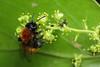 Tawny mining bee (Lord V) Tags: macro bug insect bee andrena minerbee