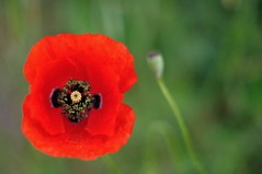 Coquelicot (Martin PEREZ 68) Tags: red flower color verde green fleur rouge countryside rojo bokeh flor vert poppy campo campagne couleur coquelicot amapola
