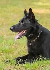 2016-05-22, IPO Training-14 (Falon167) Tags: dog shepherd german miles gsd germanshepherddog