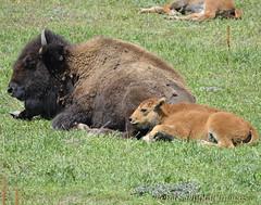 Colorado Buffalo (penadigitalimages) Tags: buffalo colorado sigma nikond7000 peasdigitalimages 150600c