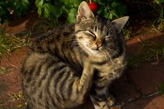 IMG_5824 (Lightcatcher66) Tags: florafauna makros katzencats lightcatcher66