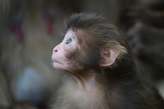 Newborn Baby 2016 (Masashi Mochida) Tags: baby animal japan wildlife newborn awaji awajimonkeycenter