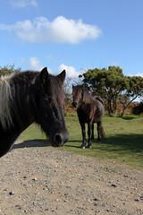 News Day Livestock 2 (jadedyermedia) Tags: road car speed accident pony devon ponies awareness incident livestock dartmoor increase collision dartmoorpony dartmoornationalpark