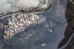 IMG_9530.jpg (AngieSix) Tags: california travel nature tidepools seaanemone crystalcovestatepark
