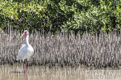 White Ibis among Mangrove Roots (glennlewisphotography) Tags: blue usa white lake tree green bird eye water leaves birds animal america photography leaf pond florida wildlife blueeyes feathers roots feather ibis mangrove swamp root blueeye whiteibis glennlewis glennlewisphotography