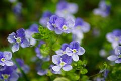 Sun worshipper (nancy II) Tags: blue flower garden purple veronica wildflower birdseye speedwell persica