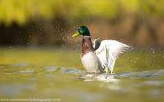 Mallard (Alastair Marsh Photography) Tags: lake bird water birds animal animals duck spring wings wildlife yorkshire wing ducks waterbird spray mallard splash britishwildlife mallards mallardduck waterspray britishbirds britishanimals yorkshirewildlife britishanimal