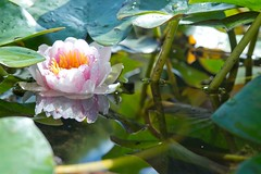Reflections of Lily (ImaginingsLifeImages) Tags: flowers macro nature water reflections pond flora waterlily newengland australia places nsw botanicgarden floraandfauna tamworth nymphaeaceae nymphaeales