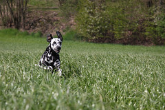 Jippi (blumenbiene) Tags: dog white playing black game dogs female walking fun weide meadow wiese hund schwarz dalmatian hunde spaziergang spielen dalmatiner weis hndin