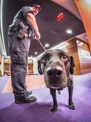 Doc the dog nose (clemsonnews) Tags: bombsniffingdog servicedog clemsonuniversity policedog dog police policeofficer campuspolice deathvalley memorialstadium southcarolina kenscar